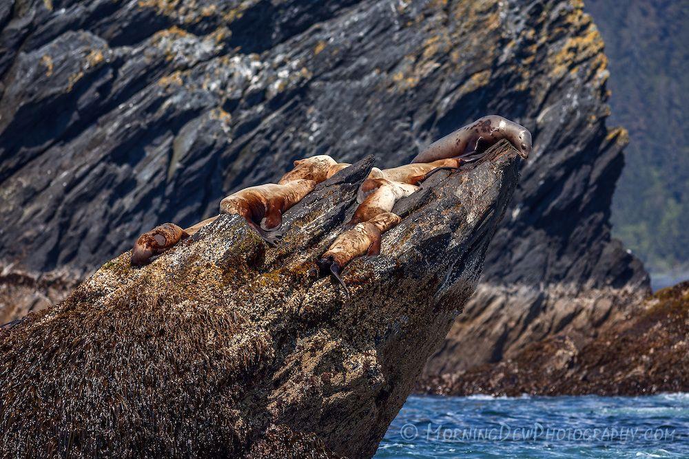 Stellar Sea Lions soak up the sun on one of the rocky islands of Procession Rocks. Prince William Sound, Alaska