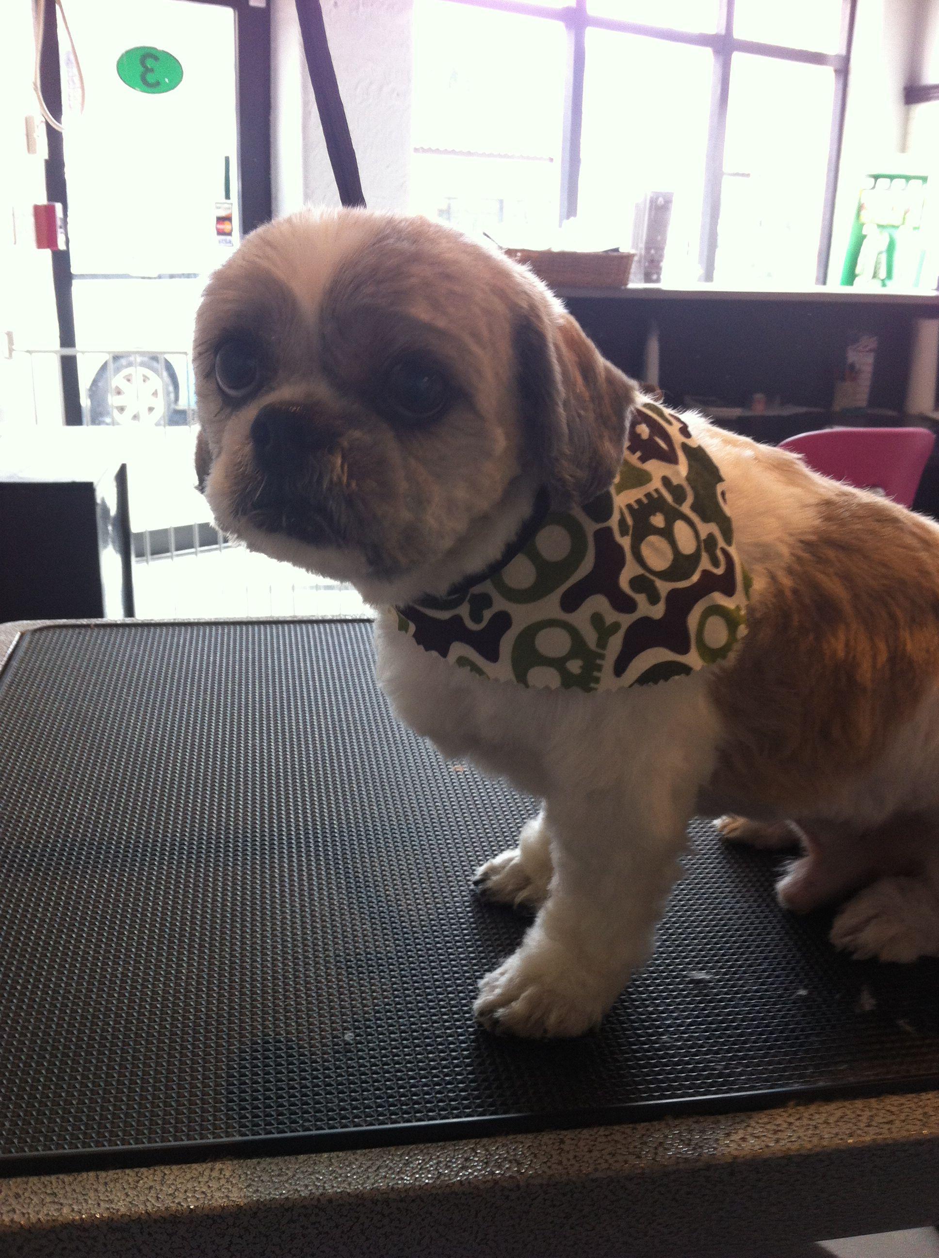 Shih Tzu 3 Blade Shaved Face Dog Grooming Styles Dog Runs
