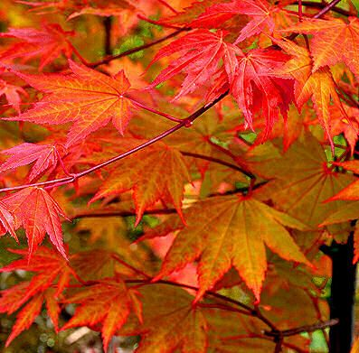 Acer Shirasawanum Autumn Moon Fall Color One Of The Best Anese Maples Does Well In Large Pots