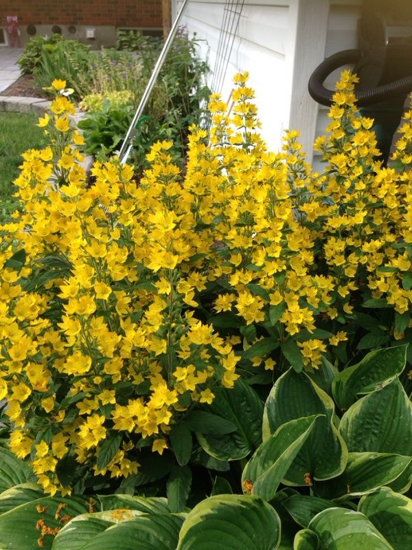Yellow loosestrife whorled loosestrife garden loosestrife yellow loosestrife whorled loosestrife garden loosestrife lysimachia punctata hardy perennial plant that grows mightylinksfo