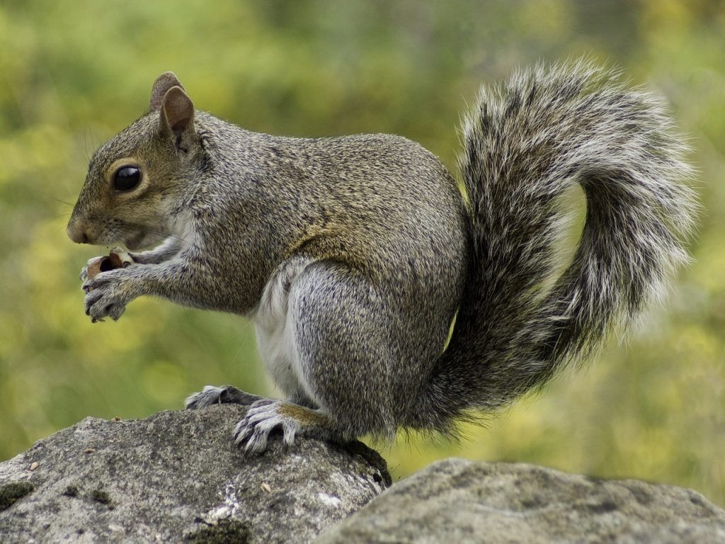 The Dangers Of Having Squirrels In Your Attic With Images Squirrel Pictures Squirrel Cute Wild Animals