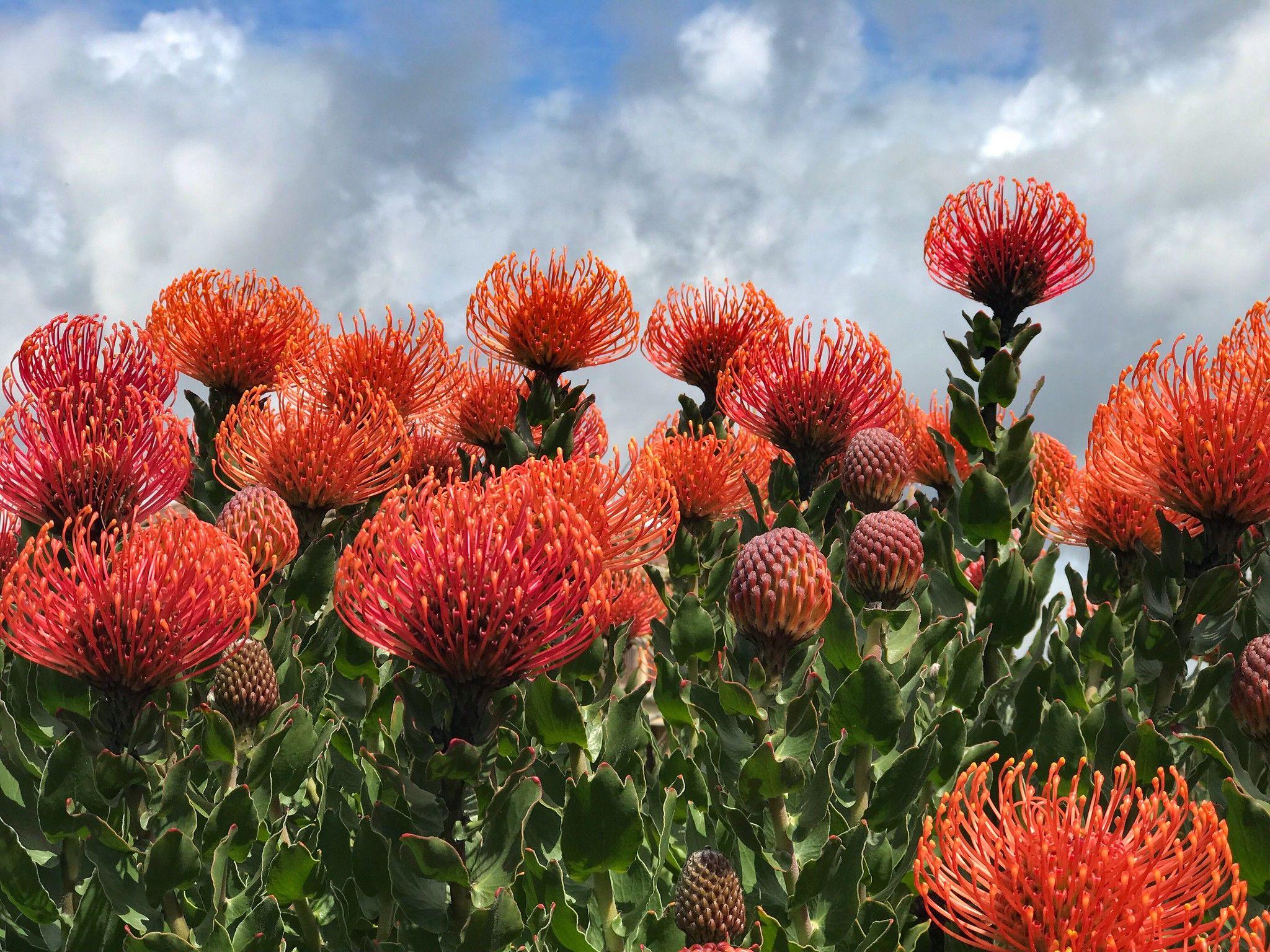 Protea The Pincushion Plant Protea Plant Plants Orange Plant