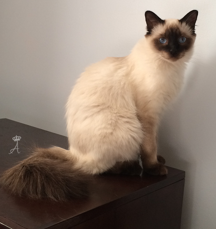 11 Things Your Cat Doesn T Like About You Balinese Cat Siamese Cats Cat Breeds