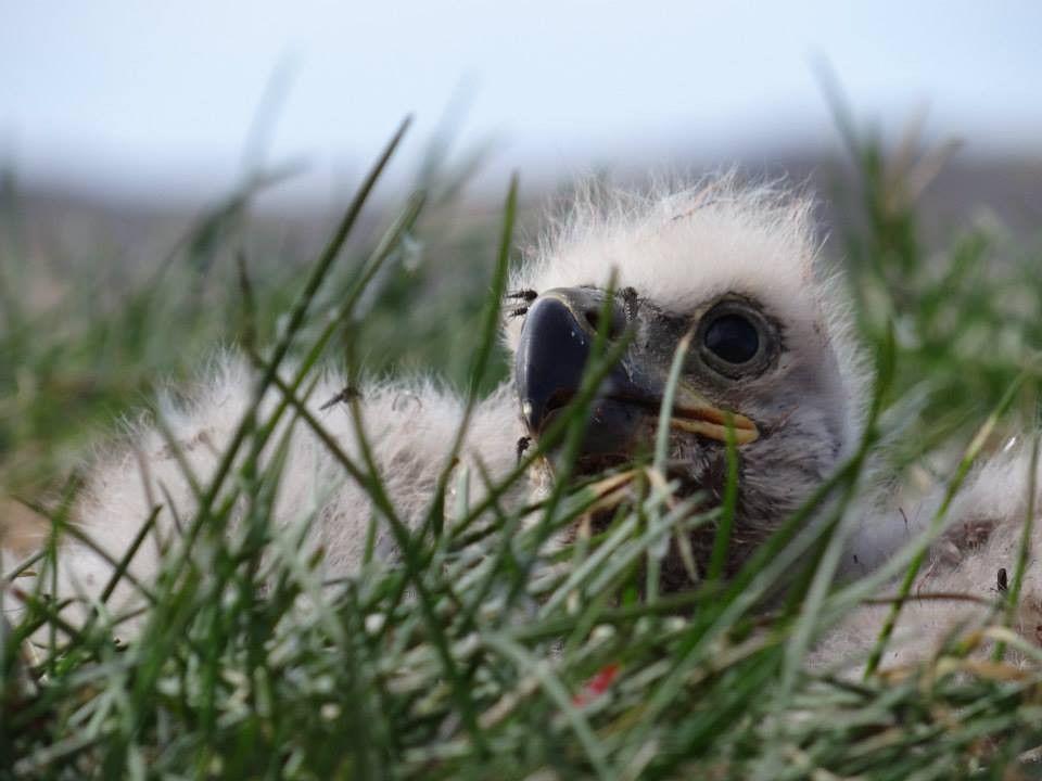 Sea Eagle chick. Photographer Henrik Hansen. Dyreliv i Grønland « MyGreenland.gl