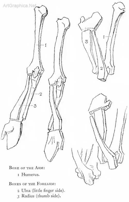 Drawing The Arm Arm And Anatomy Anatomy Art Artistic Anatomy