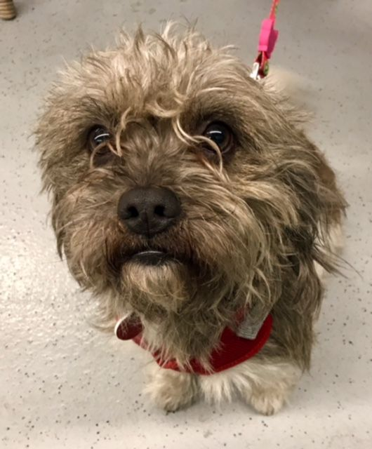 Tibetan Terrier dog for Adoption in West Hollywood, CA
