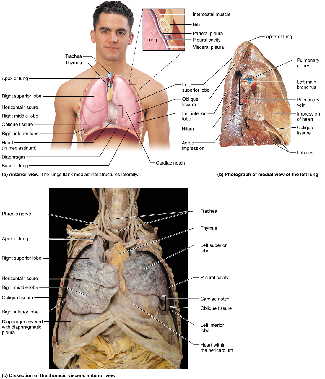 Functional Anatomy of the Respiratory System | ‡ hands meant to give ...