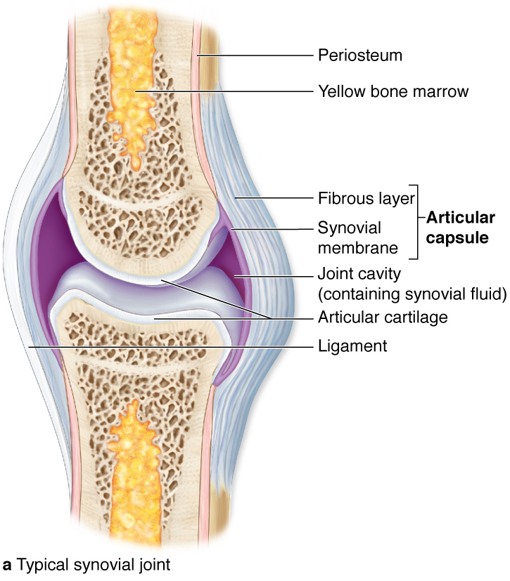 yellow bone marrow - Google Search | Musculoskeletal ...