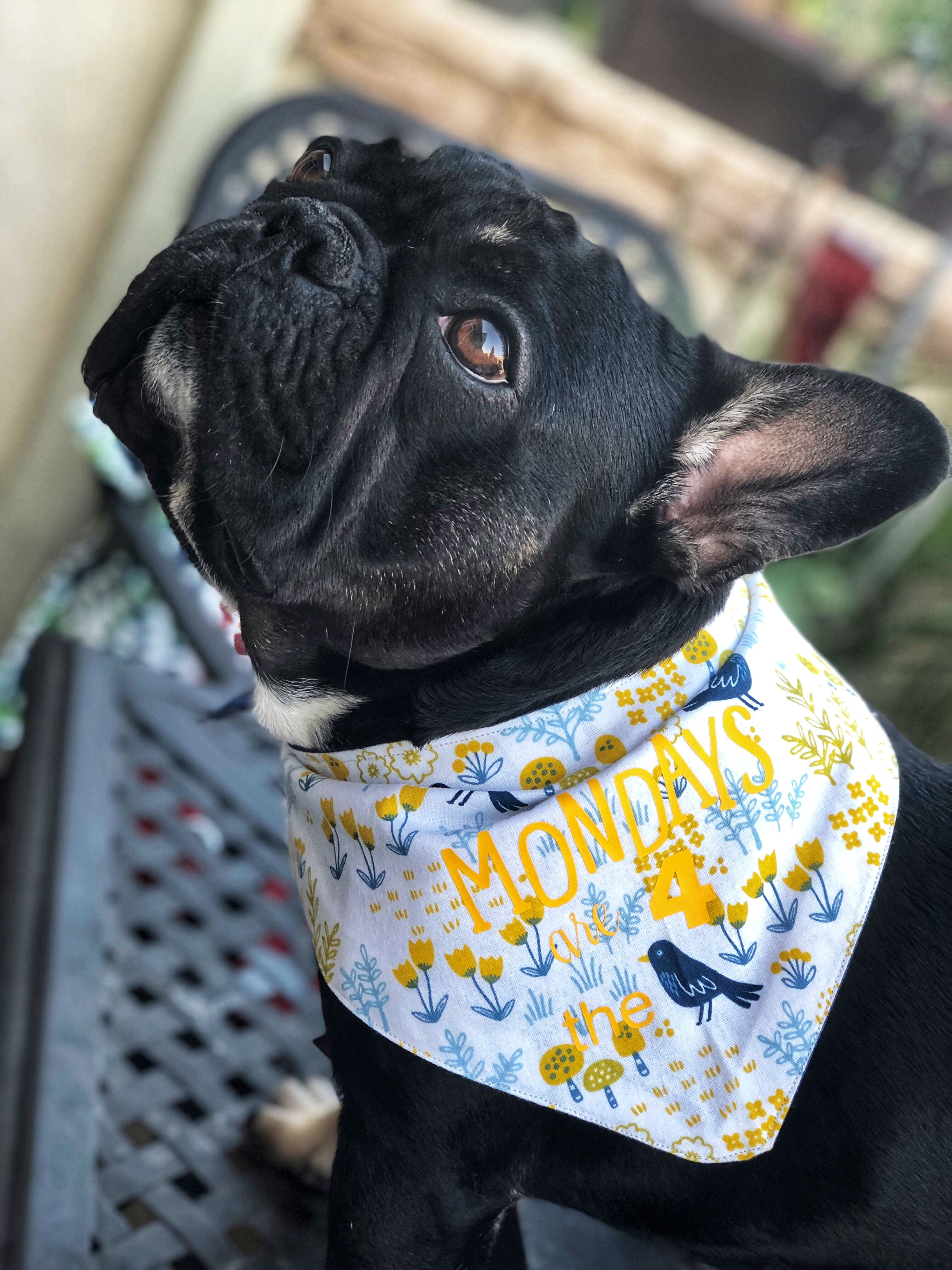 Check Out This Adorable Bandanna French Bulldog Dogs Puppies
