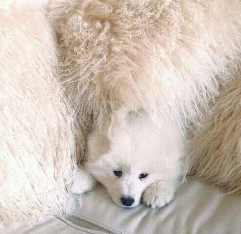Hiding samoyed