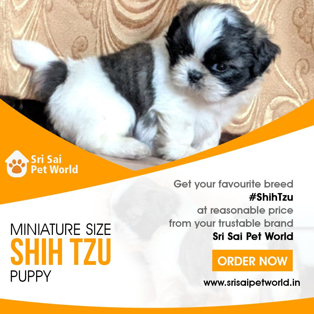 Get Your Favorite Breed Shih Tzu From Your Trusted Brand Sri Sai