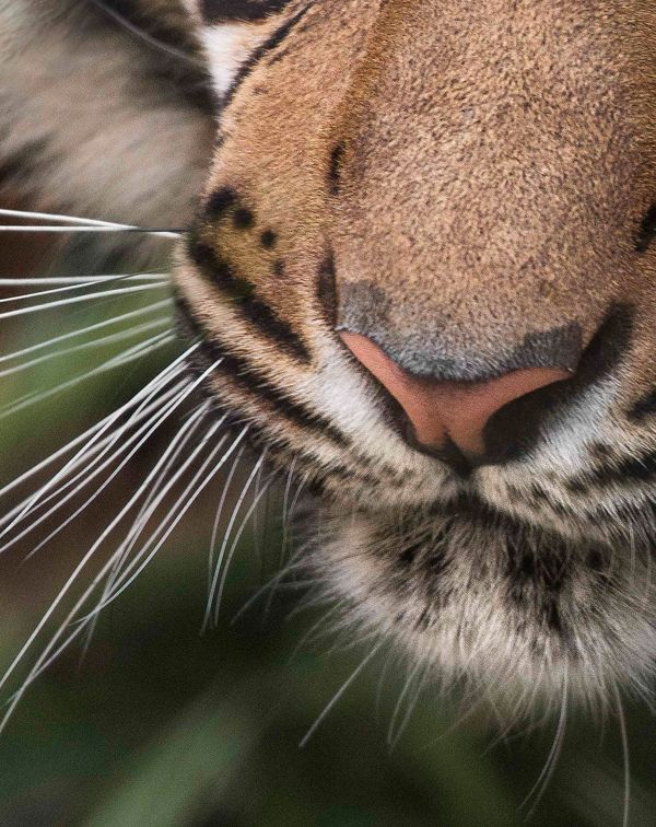 — Tiger Power Puzzle