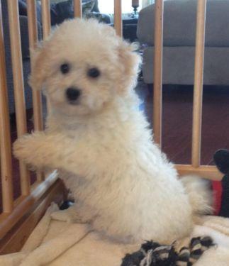 Super Cute 10 Week Old Maltichon Puppies Puppies Cute Animals Animals