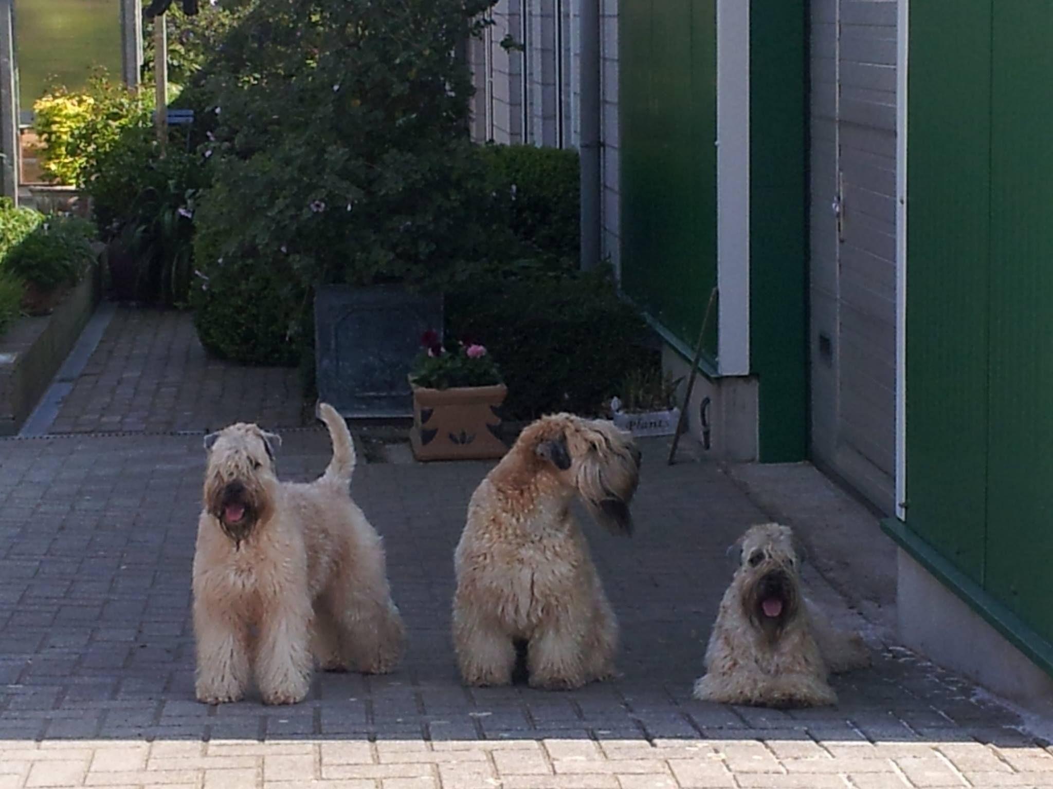 more on www.wheatens.be Terrier, Wheaten terrier