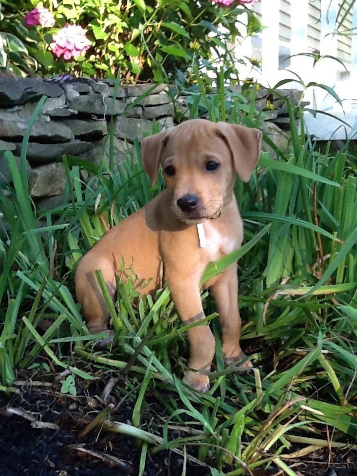 Meet Corey A Petfinder Adoptable Yellow Labrador Retriever Dog