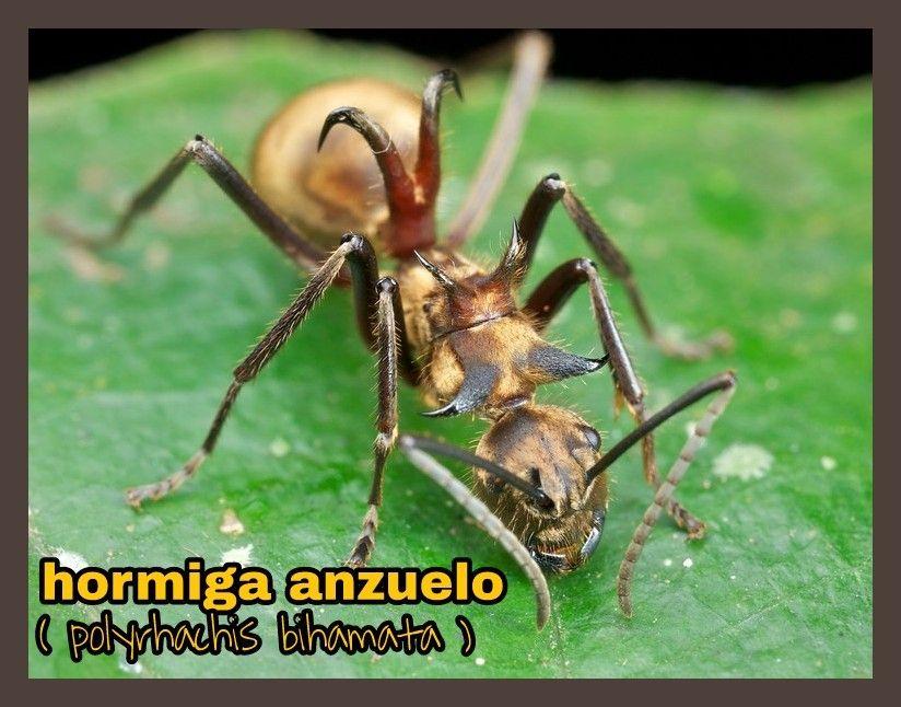 Insectos , hymenoptera , hormiga   insectos hymenoptera : hormigas ...