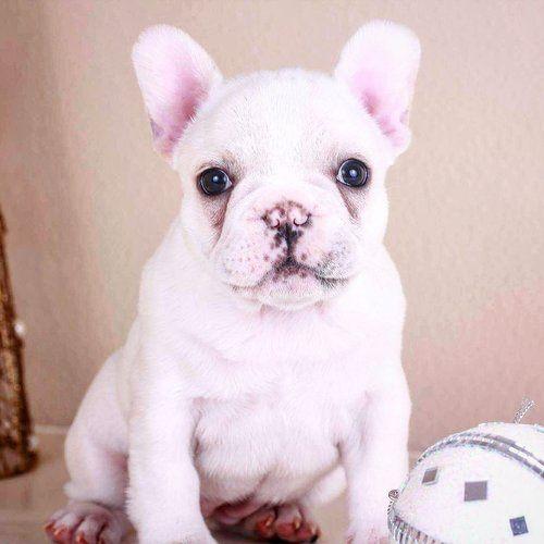 Cream French Bulldog Puppy, now living in Oregon Bulldog