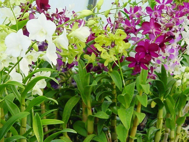 orchid dendrobium care Orchideeën, Bromelia's