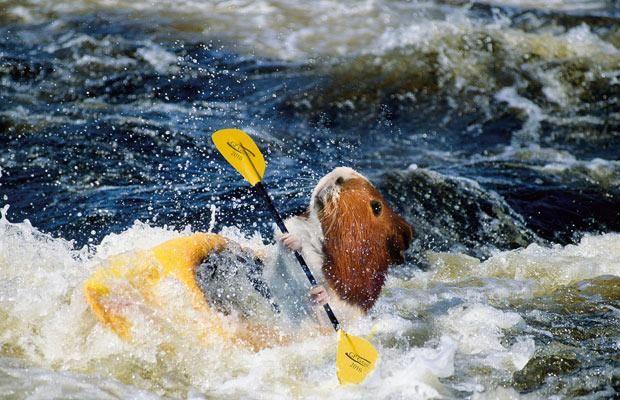 guinea pig olympics? Hilarious!!  (guinea pig olympics images - Bing Images)