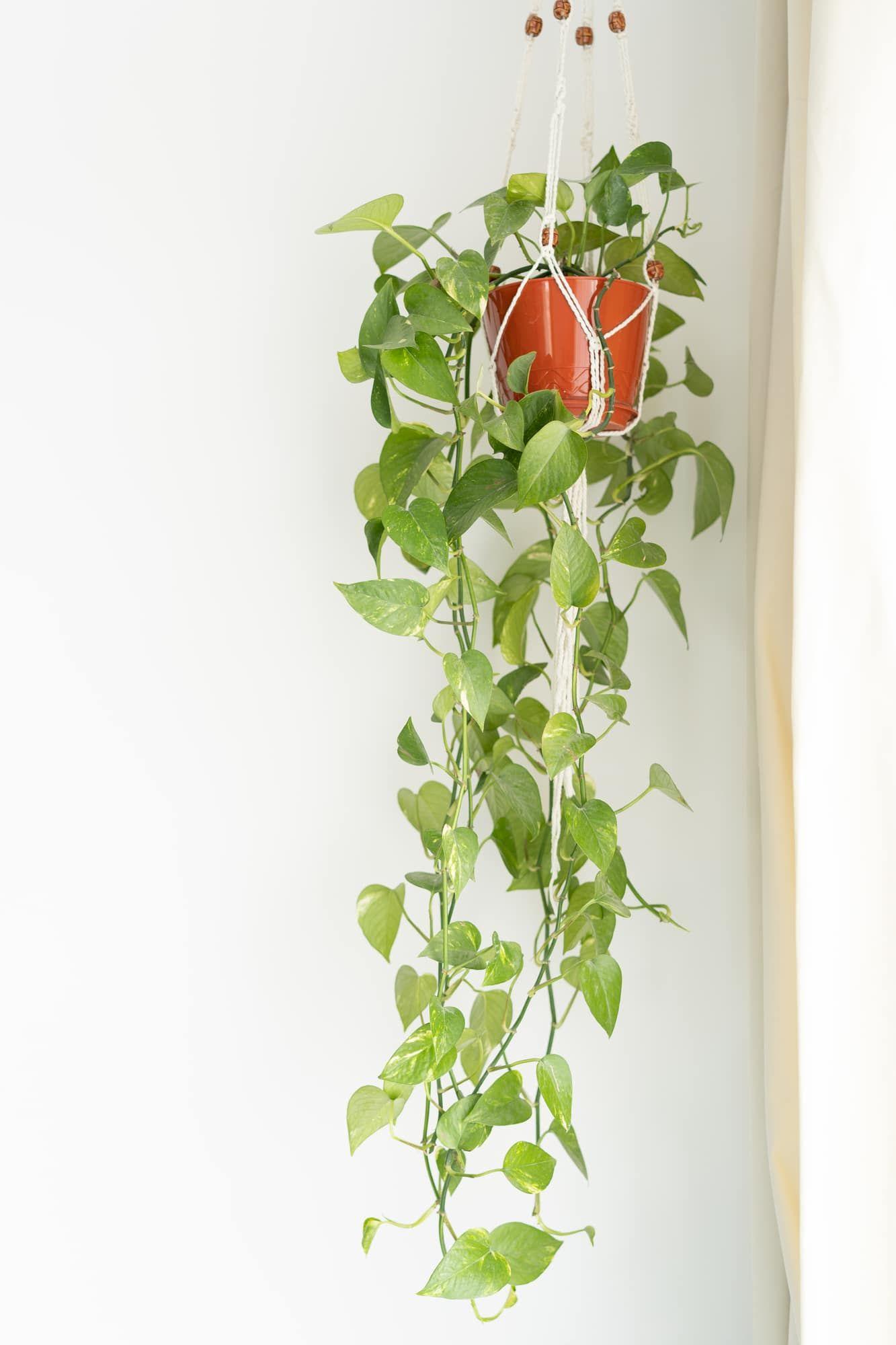 Photo of Plant Propagation: How to Propagate a Pothos Plant – Among the Lilacs