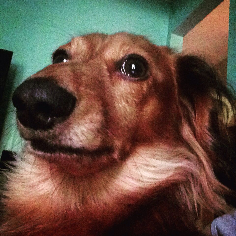 Dachshund selfie