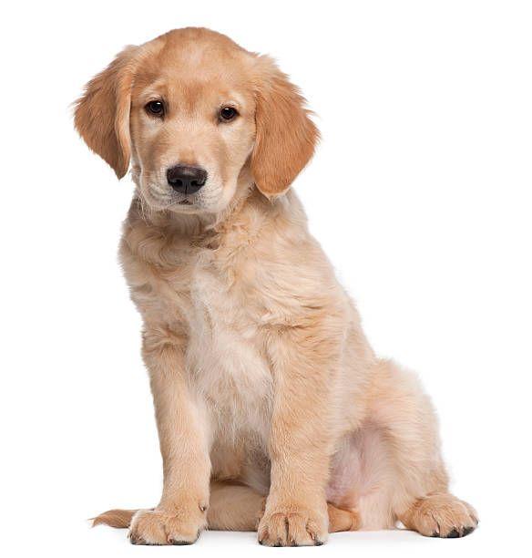 Image Result For Golden Retriever Dog Clicker Training