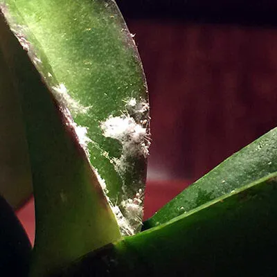 Photo of How To Get Rid of Mealybugs on Orchids