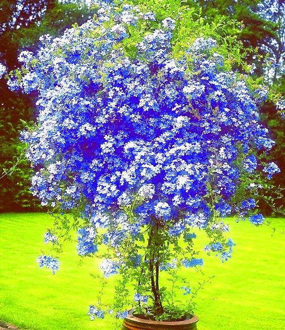 High quality 100 pcs/bag, Plumbago seeds, blue Plumbago bonsai seeds ...
