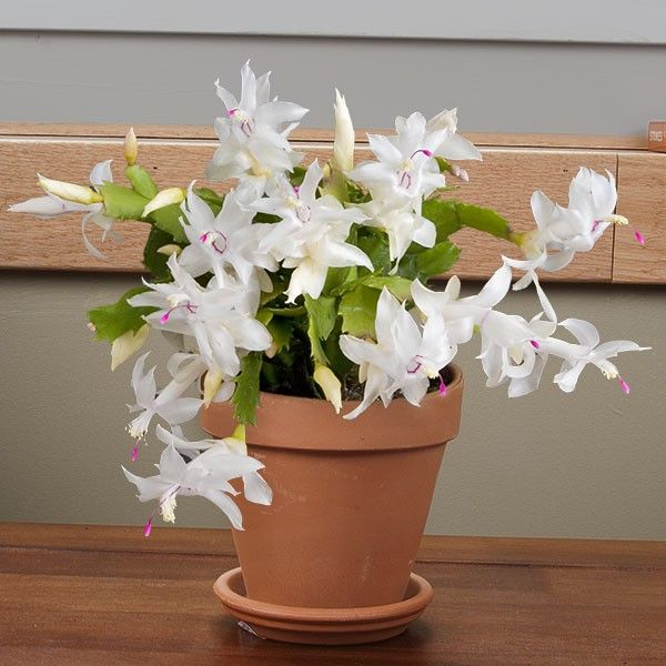 how to get flowers from a christmas cactus