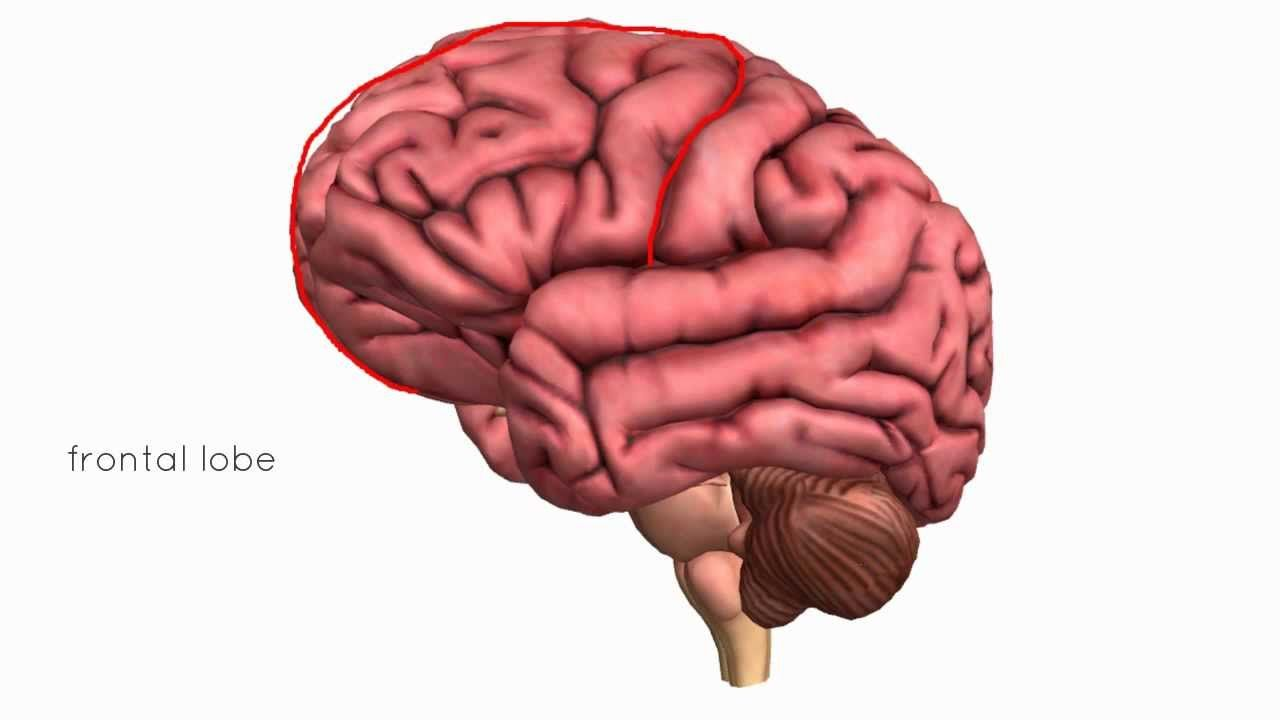short video about brain | Brain Boost | Pinterest | 3d anatomy and Brain