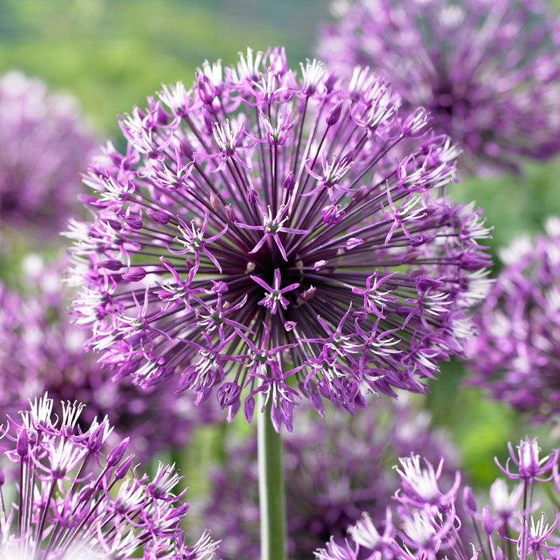 Drumstick Allium Onion Flower Bulb Flowers Flowers