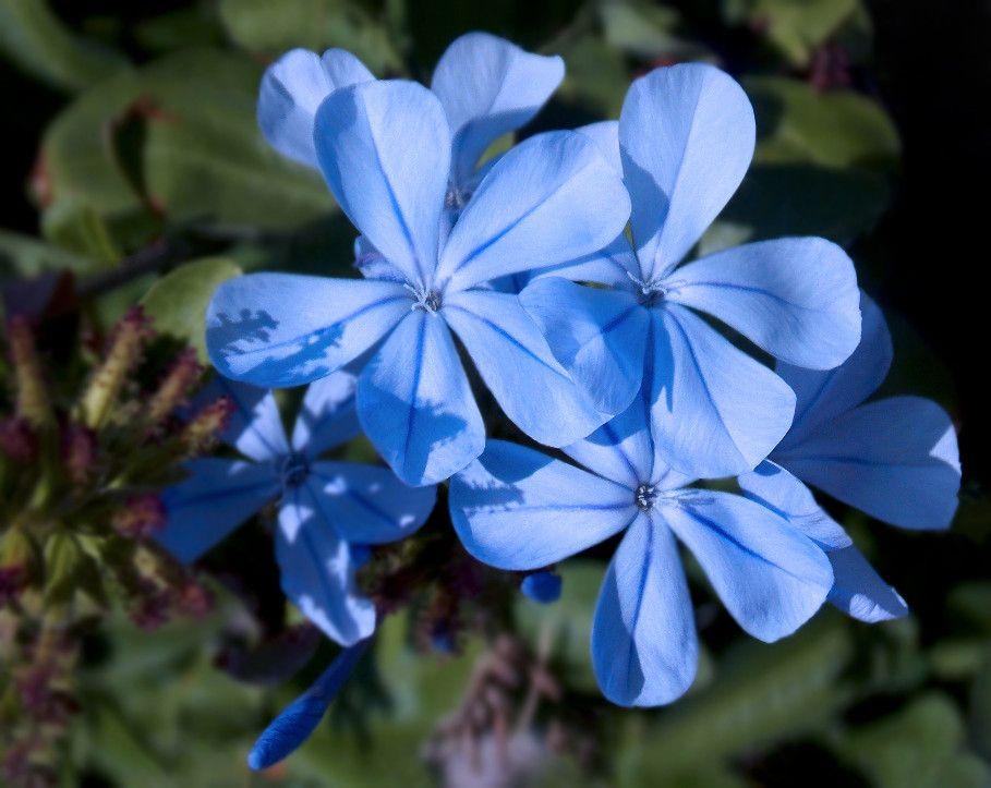 Blue Jasmine Flower | ...