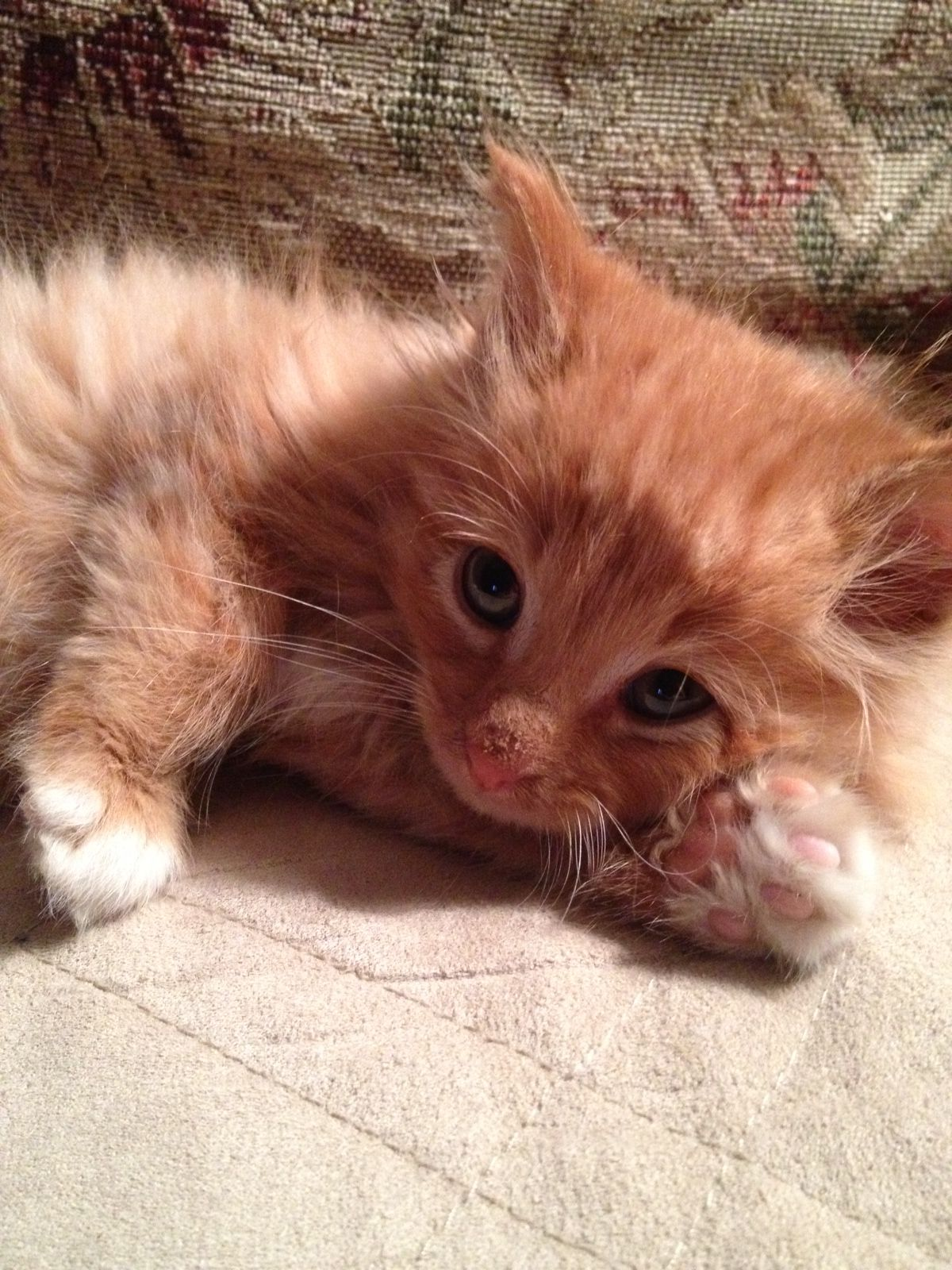 Love So Cute 4 Week Old Long Haired Orange Kitten Orange Kittens Kitten Animals