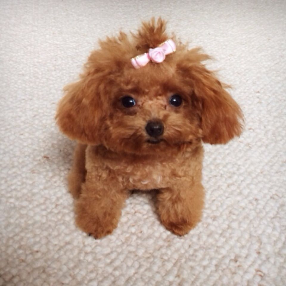 Poodle Love Hello I M Rosie I M A Tiny Teacup Poodle 0w0