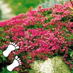 Teppich-Fetthenne, pink-rosa, im ca. 9 cm-Topf online kaufen bei Gärtner Pötschke