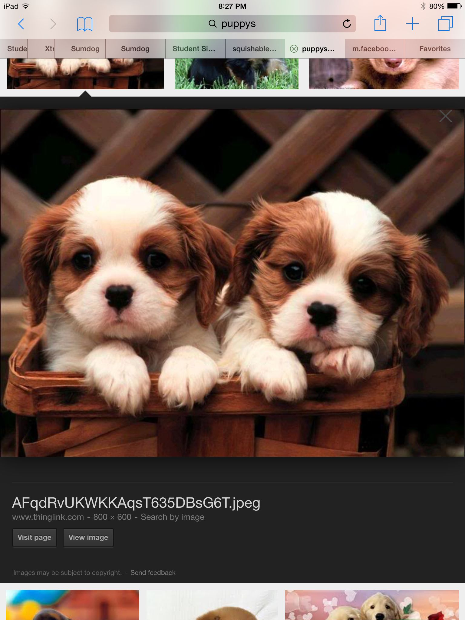 Twins!! King charles cavalier spaniel puppy, Cute puppy