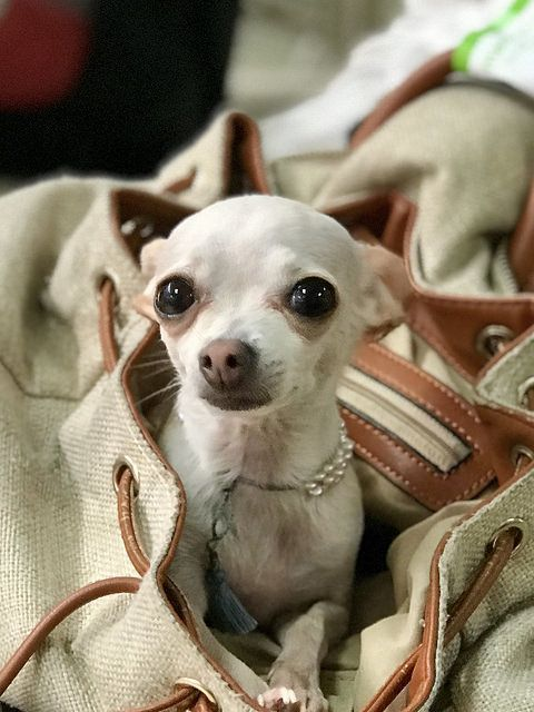 Dog Secrets The Fastest Way To Your Dream Chihuahua Chihuahua