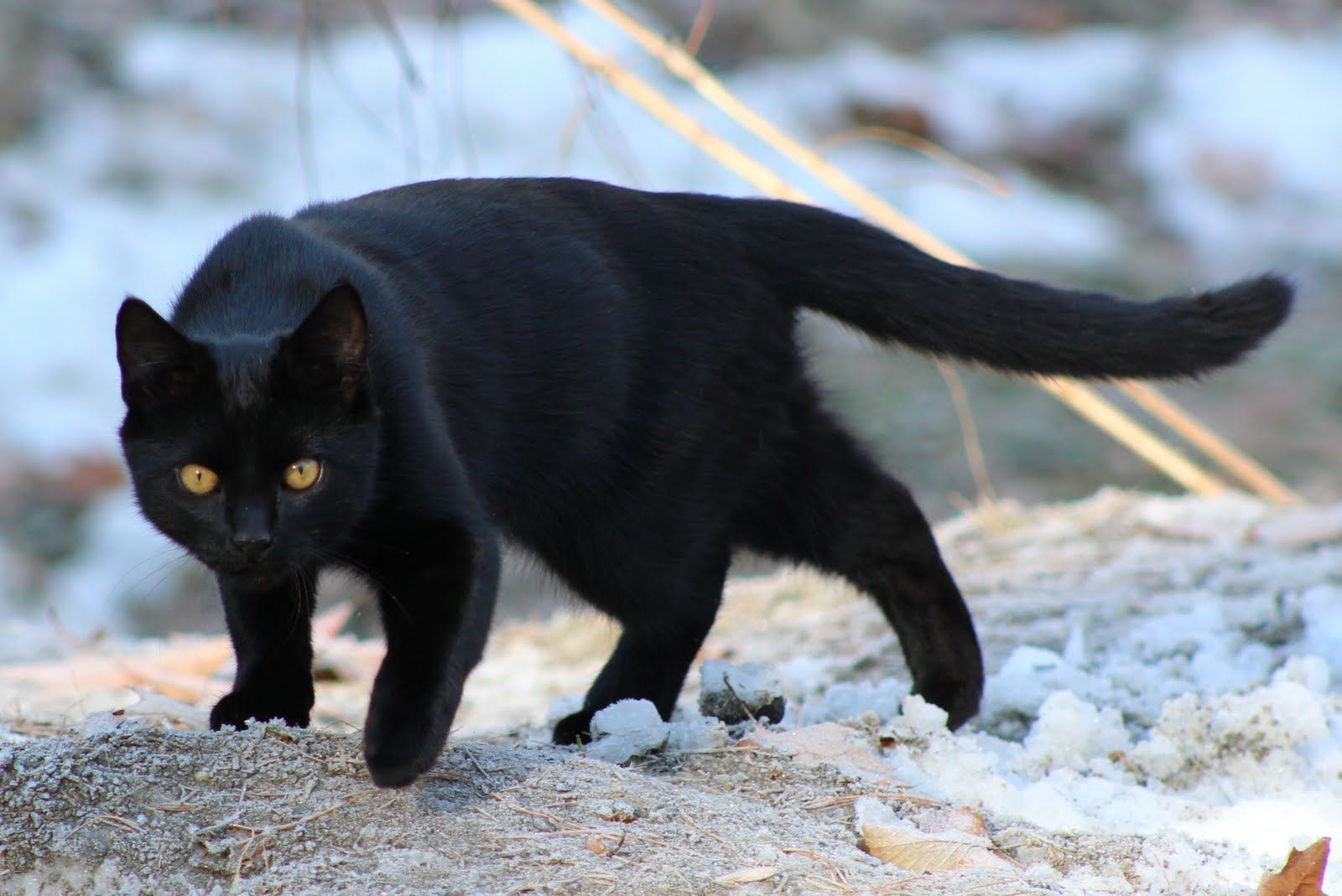 Shorthaired Black Cats
