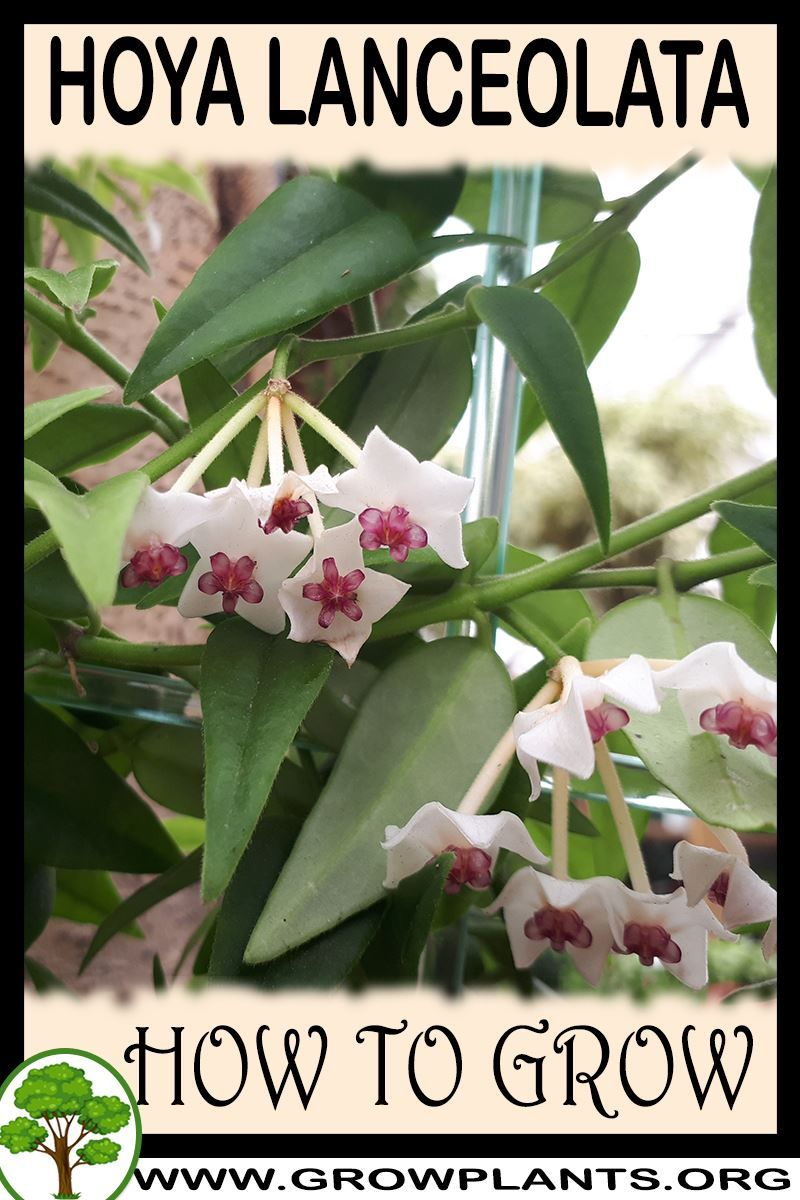 Photo of How to grow Hoya lanceolata