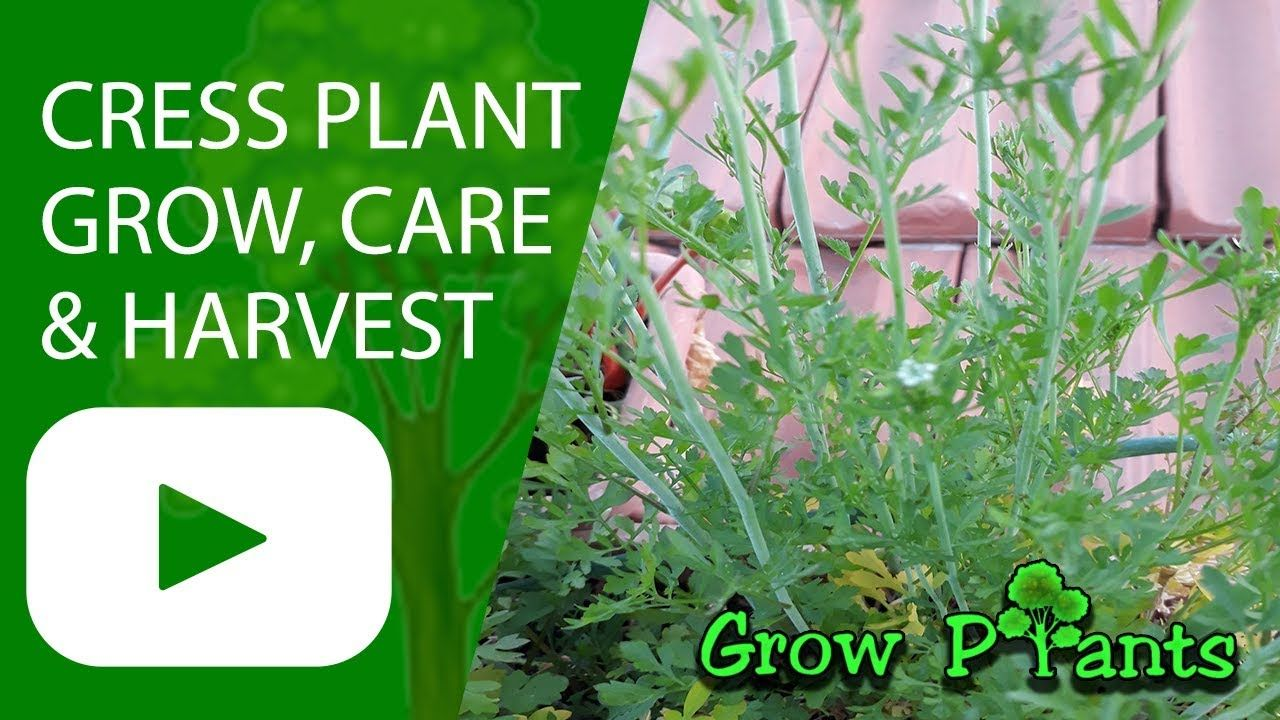 Cress Plant Growing Care Harvesting Plant Information