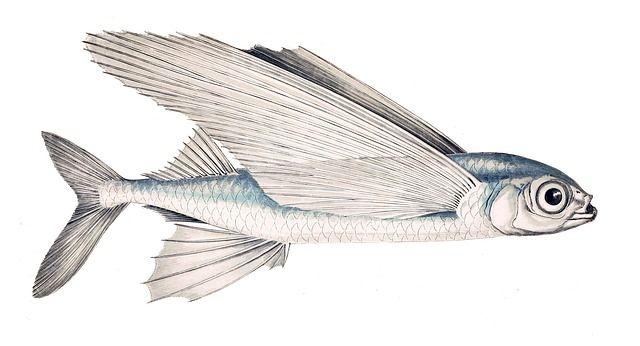 peixe voador 2