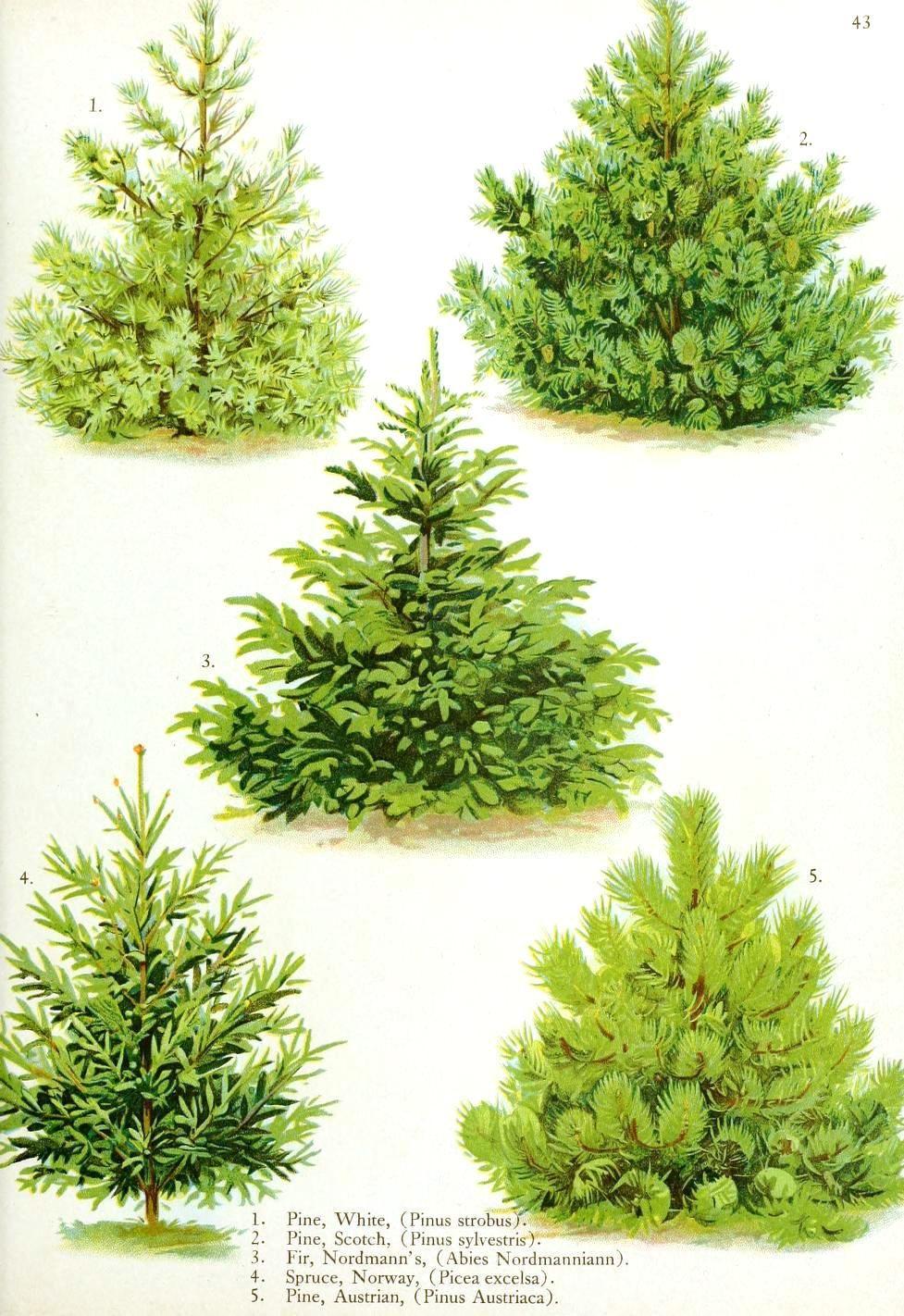 Botanical Tree Type Illustration