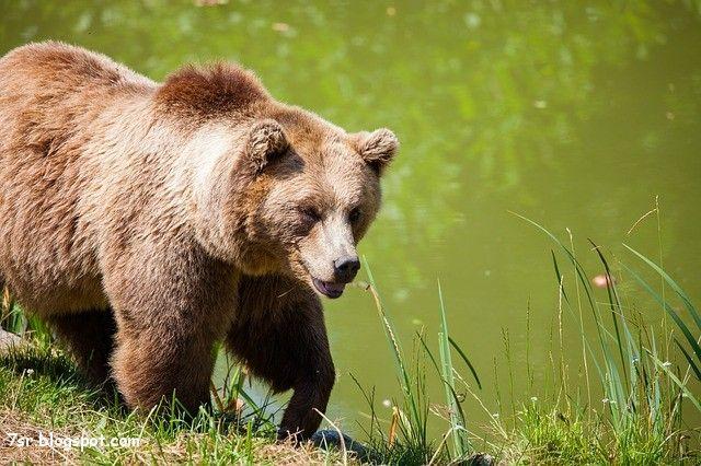 صور الدب Bear Spirit Animal Animal Attack Brown Bear