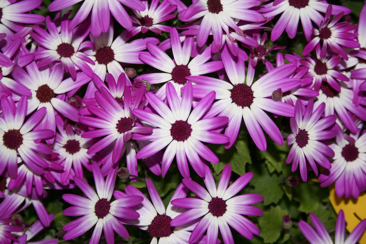 Beautiful flowers for early spring and fall saw these at lowes in beautiful flowers for early spring and fall saw these at lowes in rincon mightylinksfo