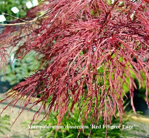 Acer Palmatum Dissectum Red Filigree Lace Deep Purple In Spring