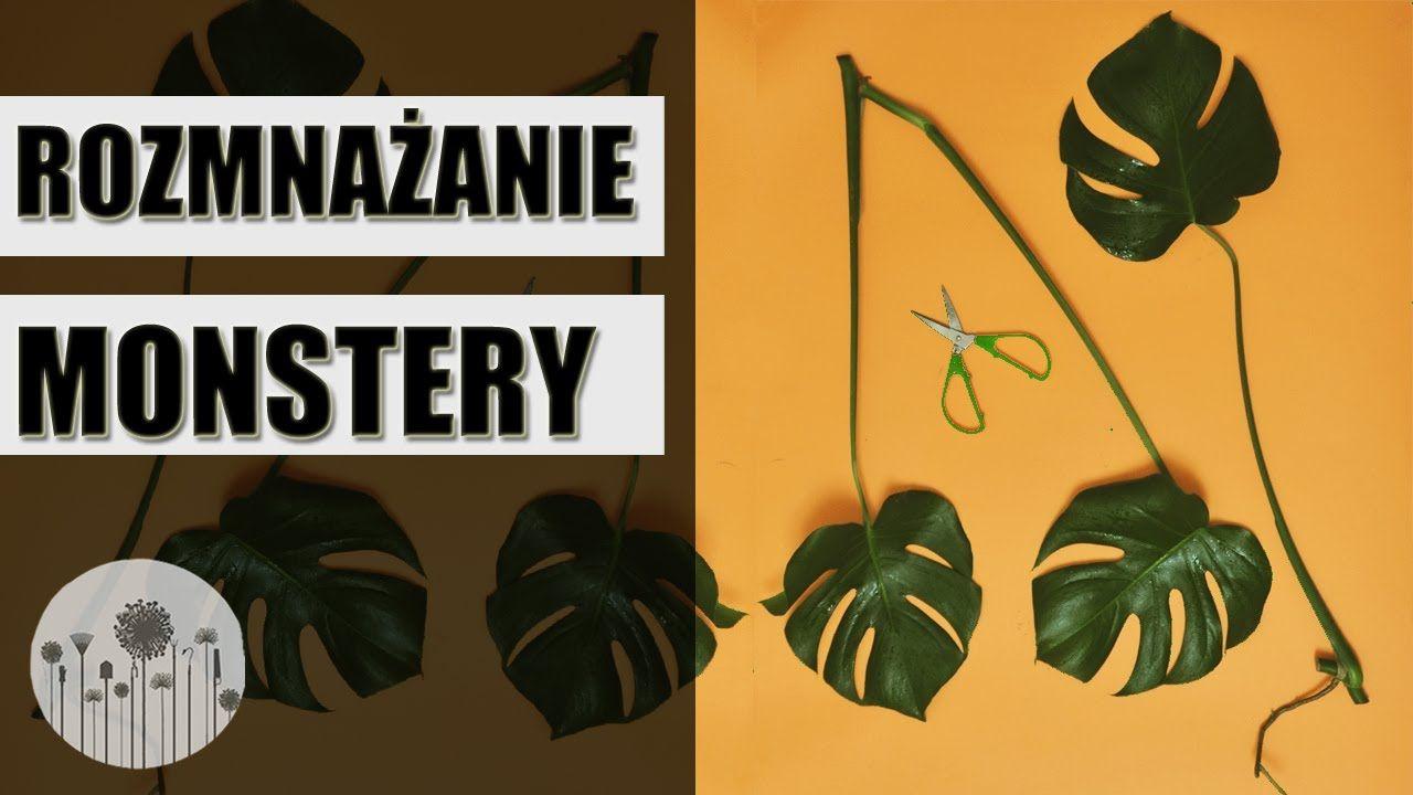 Rozmnazanie I Zageszczanie Monstery Jak Rozmnazac Monstere Plant Leaves Plants Garden