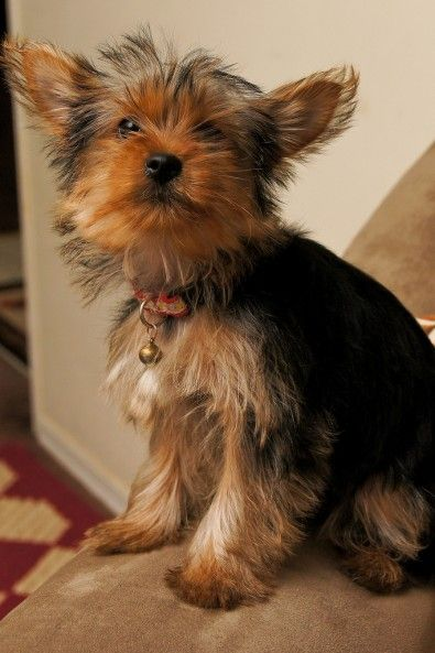 How Much Do Teacup Yorkie Puppies Cost For The Most Recommended
