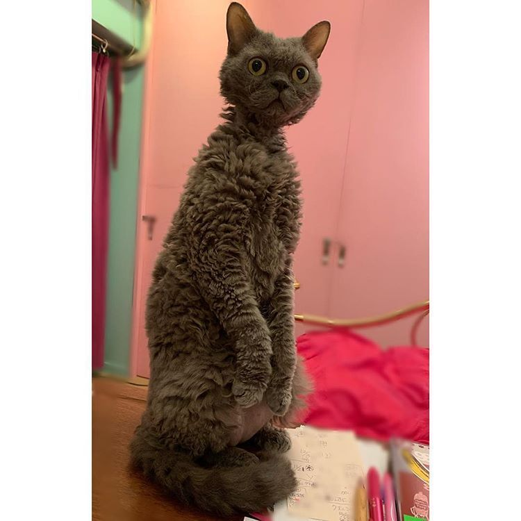 23 Poodle Cats That Are Too Cute For This World Poodle Poodle