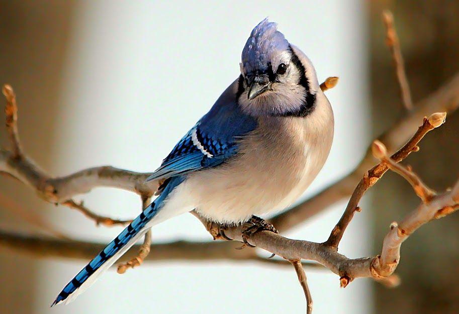 Geai Bleu // Blauhäher // Gaio-Azul // Blue Jay (Cyanocitta Cristata) © Jacqueline Hodsdon #passereau #corvidae #passeriformes #passerine