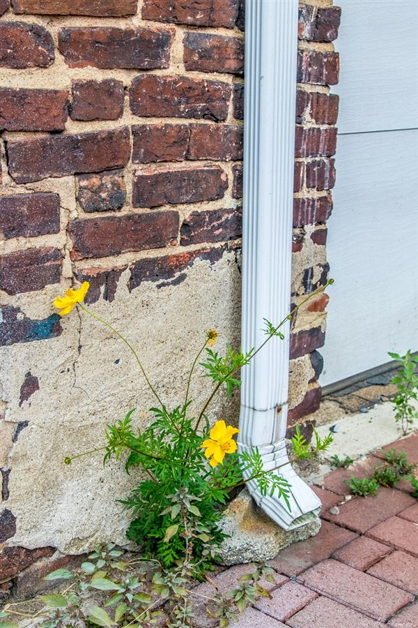 A Beautiful Flower Peaks Out Of The Brick Road In Blagden Alley - Dc roads